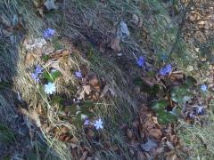 Mangfallblümchen