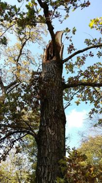 Nymphenbaum